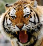 Tigre arrabbiata fotografia stock libera da diritti