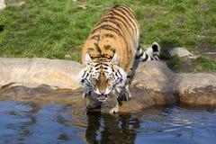 Tigre arrabbiata dell'Amur, altaica del Tigri della panthera Immagine Stock