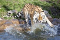 Tigre arrabbiata dell'Amur, altaica del Tigri della panthera, battente le zampe nell'acqua Fotografia Stock