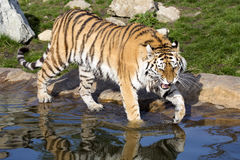 Tigre arrabbiata dell'Amur, altaica del Tigri della panthera, battente le zampe nell'acqua Fotografia Stock Libera da Diritti