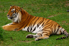 Tigre asiático imagem de stock