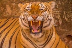 Tigre asiático en su mejor mientras que bosteza Fotos de archivo