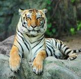 Tigre asiático na rocha Fotografia de Stock Royalty Free