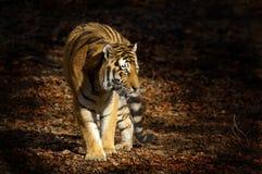 Tigre asiatica fotografia stock libera da diritti
