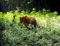 Tigre asiatica in parco zoologico indiano, India fotografie stock libere da diritti