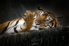 Tigre asiatique dans le zoo photo libre de droits