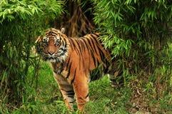 Tigre assustador nas madeiras Fotografia de Stock Royalty Free