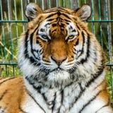 Tigre image libre de droits