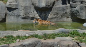 Tigre au zoo de Brookfield Images stock