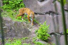 Tigre au zoo photo stock