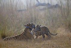 Tigre avec l'petit animal Image stock