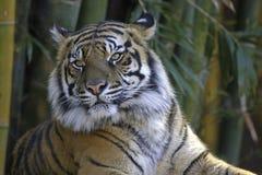 Tigre avec le fond en bambou Photographie stock