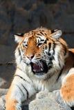 Tigre avec les crocs dénudés Photos stock