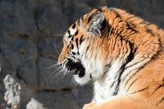 Tigre avec les crocs dénudés Photographie stock