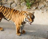 Tigre avec les crocs dénudés Images stock