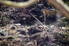 Tigre avec sa proie Image stock