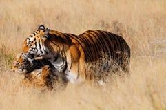 Tigre avec son petit animal photographie stock libre de droits