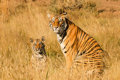 Tigre avec son petit animal Image libre de droits
