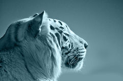 Tigre azul Imagen de archivo