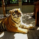 Tigre bajo luz del sol Fotos de archivo libres de regalías