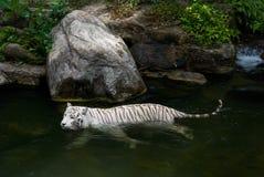 Tigre bengalí blanco foto de archivo