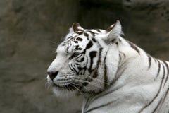 Tigre bengalese bianca. Fotografie Stock