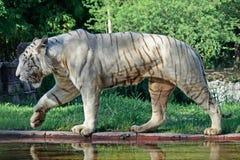 Tigre bianca Immagini Stock