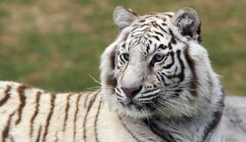 Tigre bianca 2 Fotografia Stock