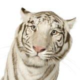 Tigre bianca (3 anni) Immagini Stock