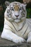 Tigre bianca Fotografia Stock
