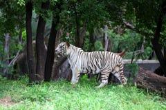 Tigre bianca Immagine Stock