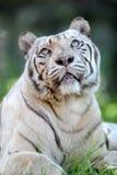 Tigre bianca Fotografie Stock Libere da Diritti