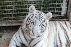 Tigre bianca Fotografie Stock