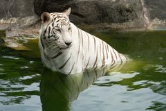 Tigre bianca, tigre candeggiata, la tigre siberiana nel suo ambiente naturale nel fiume in bello paese fotografia stock libera da diritti