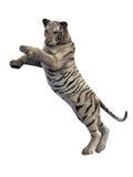 Tigre bianca che attacca, animale su bianco Fotografia Stock