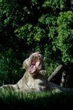 Tigre bianca che rugge Fotografia Stock