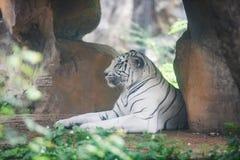 Tigre bianca che si trova sulla terra nello zoo dell'azienda agricola alla tigre Bengala/del parco nazionale fotografia stock