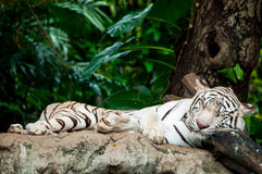 Tigre bianca di sonno Fotografie Stock