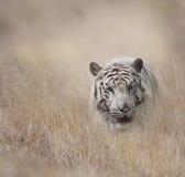 Tigre bianca nel pascolo Fotografia Stock