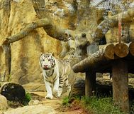 Tigre bianca nello zoo fotografie stock