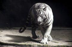 Tigre bianca & x28; Panthera Tigris Tigris & x29; Cadenza Fotografia Stock Libera da Diritti