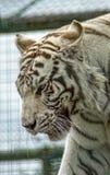 Tigre bianca rara Immagini Stock Libere da Diritti