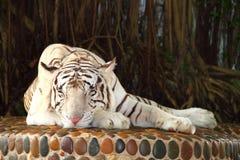 Tigre bianca sonnolenta Immagini Stock Libere da Diritti