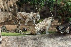 Tigre bianca in uno zoo nel buon benessere degli animali in uno zoo Tigre bianca in uno zoo in buone condizioni fotografia stock libera da diritti