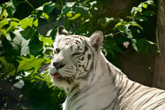 Tigre bianco Immagini Stock Libere da Diritti