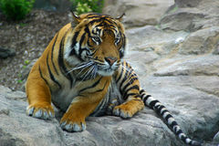 Tigre bilanciata per piombare Fotografie Stock Libere da Diritti