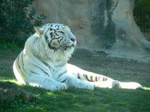Tigre blanc Image stock