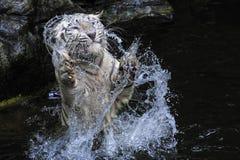 Tigre blanc Photographie stock libre de droits