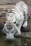 Tigre blanc Photo libre de droits