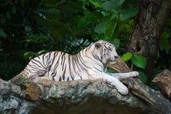 Tigre blanc Photo stock